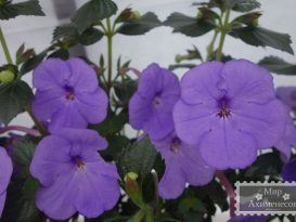 achimenes-forget-me-not-foto-3