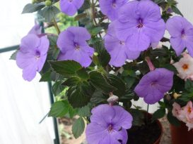 achimenes-forget-me-not-foto-4