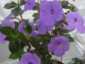achimenes-forget-me-not-foto-5