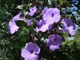 achimenes-forget-me-not-foto-6