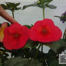 achimenes-tropical-punch-foto-1