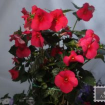 achimenes-tropical-punch-foto-4