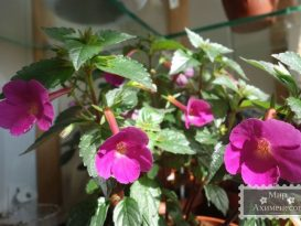 achimenes-grape-wine-foto-3