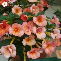 achimenes-orange-orchard-7
