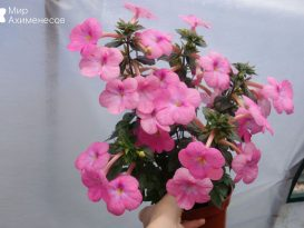 achimenes-pearly-queen-1