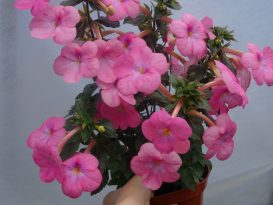 achimenes-pearly-queen-2