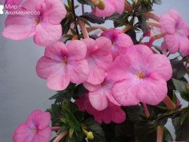 achimenes-pearly-queen-3