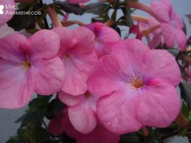 achimenes-pearly-queen-4