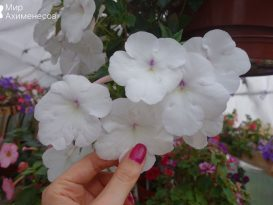 achimenes-snow-princess-01