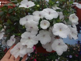 achimenes-snow-princess-04