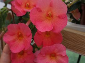 achimenes-sweet-and-sour-01