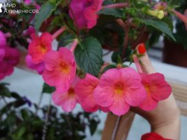 achimenes-sweet-and-sour-02