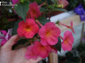 achimenes-sweet-and-sour-04
