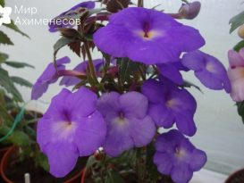 ahimenes-cascade-violet-night-0005