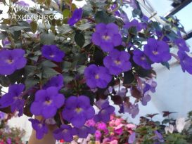ahimenes-cascade-violet-night-0008